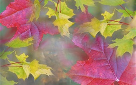 Maple leaves, red and yellow colors, fog, haze, autumn