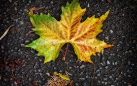 One maple leaf on ground