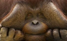 Орангутанг лицо крупным планом, обезьяна
