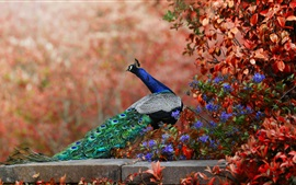 Preview wallpaper Peacock and flowers, long tail
