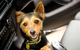 Preview wallpaper Pet, cute dog in the car