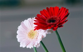 Preview wallpaper Pink and red chamomile flowers