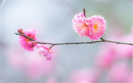 Pink peach flowers, twigs, spring