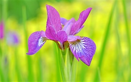 Preview wallpaper Purple petals iris close-up, green background