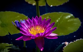 Preview wallpaper Purple petals water lily, leaves, pond