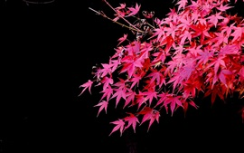 Red maple leaves, black background, autumn