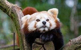 Panda roja, fotografía de los animales