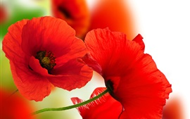 Preview wallpaper Red poppies close-up, petals, white background