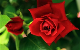Preview wallpaper Red rose macro photography, flowers