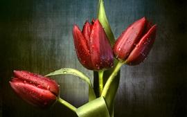 Tulipas vermelhas, orvalho, folhas verdes