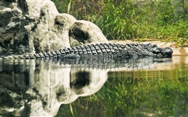 Preview wallpaper Reptile, crocodile, lake