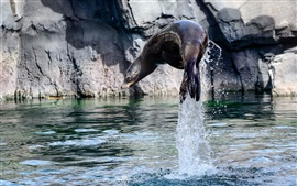 Sea lion jumping out water