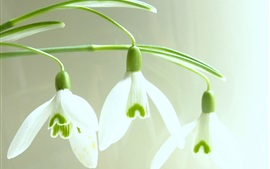 Preview wallpaper Snowdrops macro photography