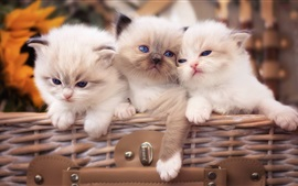 Preview wallpaper Three white kittens, blue eyes
