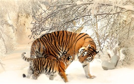 Preview wallpaper Tigers in winter, snow, trees, cold