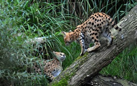 Preview wallpaper Two wild cats, serval, grass