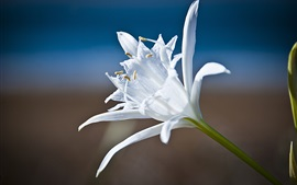 Preview wallpaper White petals lily close-up