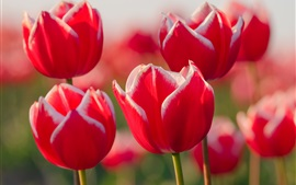 Preview wallpaper White red petals tulip close-up