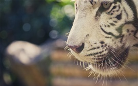 Preview wallpaper White tiger mouth close-up