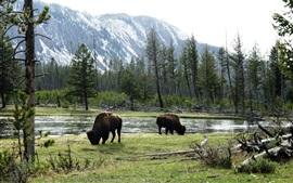 Дикие быки, Америка, деревья, река