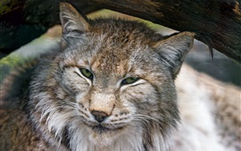 Wild cat, lynx close-up, face
