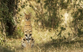 Preview wallpaper Wild cat, serval, nature, grass, plants