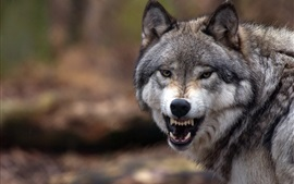 Preview wallpaper Wolf close-up, grin, angry, forest