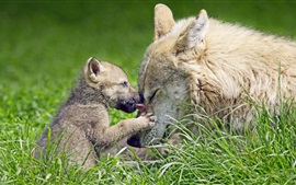 Preview wallpaper Wolf cub and mother, grass