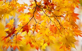 Yellow maple leaves, twigs, tree, autumn