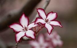 Адениум, белые пурпурные лепестки