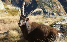 Animal ibex na grama
