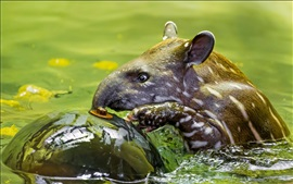 Animal tapir in the water