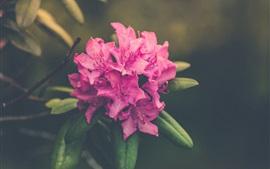 Azalea, pink flowers, bokeh
