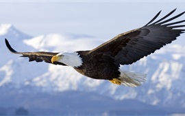 Preview wallpaper Bald eagle flight, wings