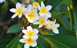 Preview wallpaper Beautiful plumeria photography, twigs