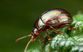 Preview wallpaper Beetle, insect photography