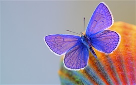Preview wallpaper Blue wings butterfly, insect
