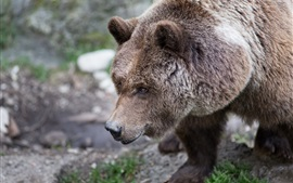Preview wallpaper Brown bear, furry, head