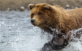 Preview wallpaper Brown bear run in water, splash