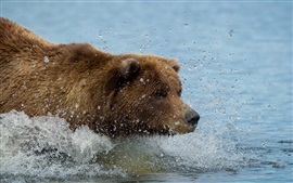 Preview wallpaper Brown color bear swim in water