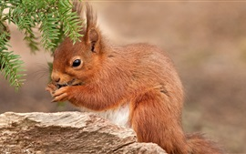 Preview wallpaper Brown color squirrel, pine needles
