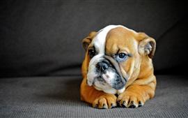Buldogue, filhote cachorro, frente, vista