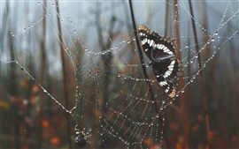 Butterfly, web, spider, water drops