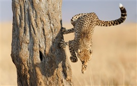 Cheetah jump down from tree