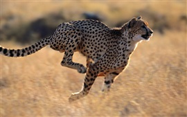 Preview wallpaper Cheetah running speed