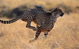 Velocidad de funcionamiento del guepardo