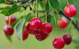 Aperçu fond d'écran Cerisier, cerises aux fruits frais, brindilles