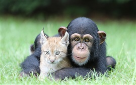 Chimps and lynx in the grass