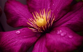 Preview wallpaper Clematis macro photography, purple petals, dew