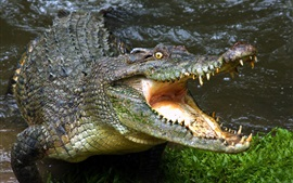 Crocodilo, boca, colmilhos, réptil